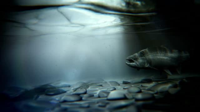 Steelhead nuoto controcorrente