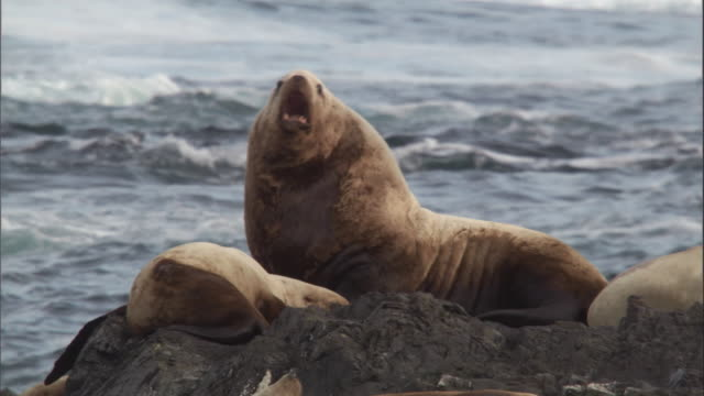 A Steller's sea lion looks over its colony and roars. Available in HD.