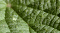 Stinging nettle (Urtica dioica) leaf