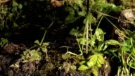 Stinging nettles, timelapse