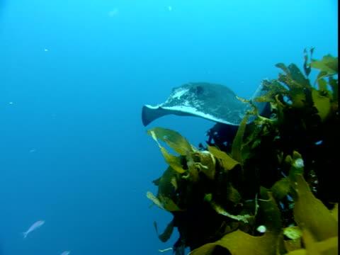 A stingray swims past kelp in the ocean.