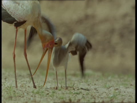 A stork chick begs for food from its parent in Zambia.