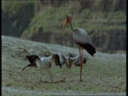A stork feeds two chicks in Zambia.