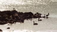 MS Storks on water and rocks next to Punta Culebra beach  /  Panama City, Panama