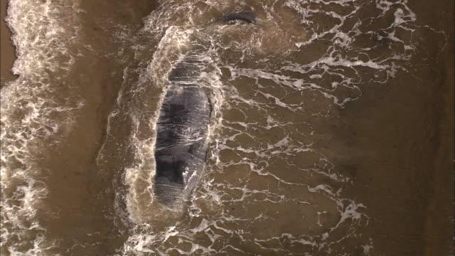 Stranded sperm whale (Physeter macrocephalus) in surf, Tasmania