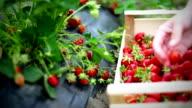 """Erdbeeren """"harvest."""