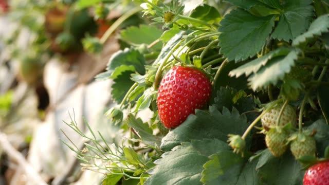 Strawberry Field or Strawberry