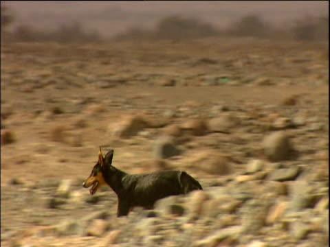 Stray dog runs across barren landscape Peru
