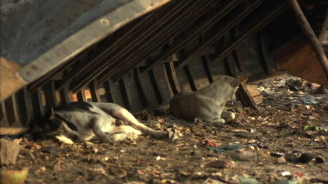 MS, ZI, Stray dogs resting under up turned boat on dirty ground, Dhaka, Bangladesh