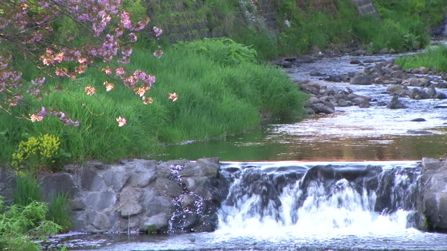 HD: Stream and blossom sakura at sunset (video)