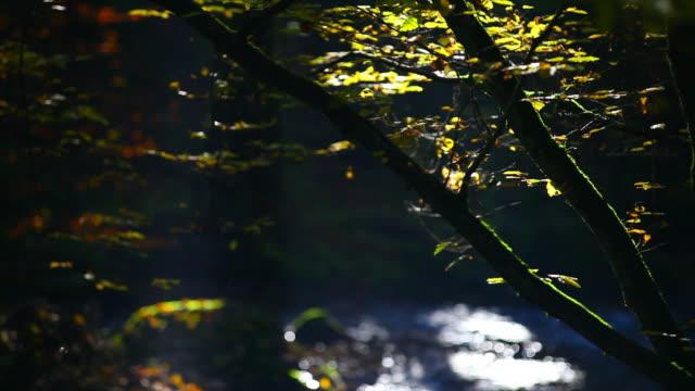 HD-Stream im Herbst Wald