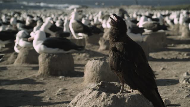 Striated caracara (Phalcoboenus australis) calls in albatross colony, Falkland Islands