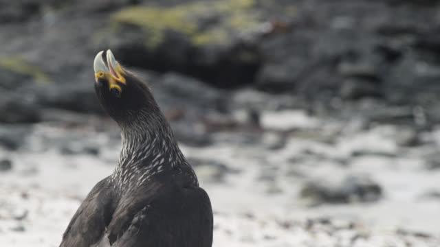 Striated caracara (Phalcoboenus australis) calls on beach, Falkland Islands