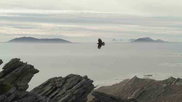 Striated caracara (Phalcoboenus australis) flies over rocky outcrop, Falkland Islands