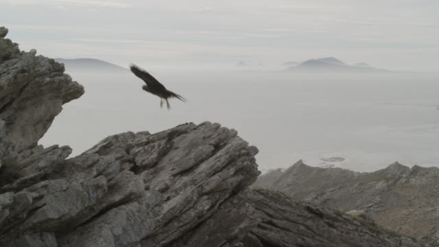 Striated caracara (Phalcoboenus australis) takes off from rocky outcrop, Falkland Islands