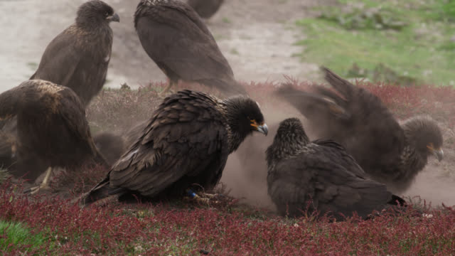 Striated caracaras (Phalcoboenus australis) dust bathing, Falkland Islands
