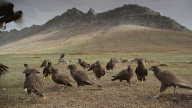 Striated caracaras (Phalcoboenus australis) gather on tundra, Falkland Islands