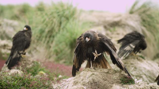 Striated caracaras (Phalcoboenus australis) on old albatross nests, Falkland Islands