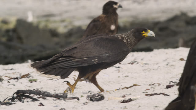 Striated caracaras (Phalcoboenus australis) squabble on beach, Falkland Islands