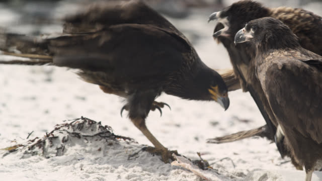 Striated caracaras (Phalcoboenus australis) squabble on beach, Falkland Islands