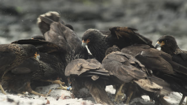 Striated caracaras (Phalcoboenus australis) squabble over carcass on beach, Falkland Islands