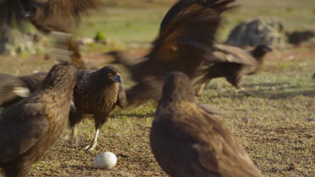 Striated caracaras (Phalcoboenus australis) squabble over egg on tundra, Falkland Islands