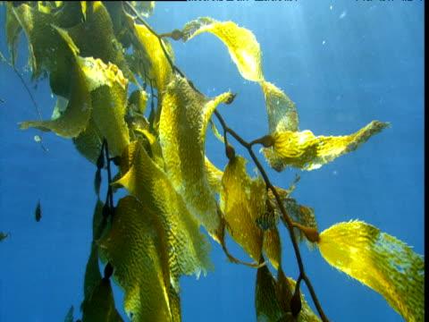 Striped fish shelters amongst kelp, California