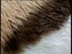 Striped flank of Thomson's gazelle in rain,