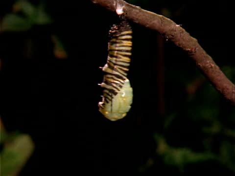 T/L, CU, Striped monarch caterpillar hanging from branch, changing to pupa stage, Oregon, USA