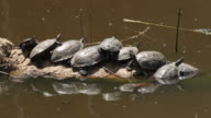 Striped-neck terrapin (Mauremys caspica)- basking in the sun in water