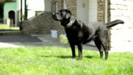 strong black Labrador Retriever guard dog barking - medium shot