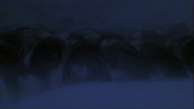 Strong winds blow snow past a large colony of Emperor penguins in winter.
