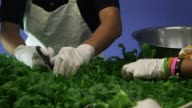 Students harvest plants from an Aerofarms solution chamber in a cafeteria at Philip's Acedemy School in Newark New Jersey US on October 29 2014 Shots...