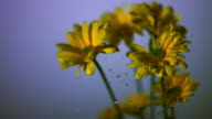 SLO MO CU SELECTIVE FOCUS Studio shot of water falling on yellow daisies