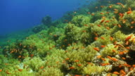 'Stunning shot of green to yellow spectrum coral, a blue sea, and many orange fish darting in every direction'