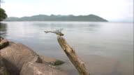 Stylurus oculatus dragonfly, Lake Biwa, Shiga Prefecture, Japan