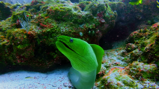 Suba Diving with green moray (Gymnothorax funebris) in Caribbean Sea - Belize Barrier Reef / Ambergris Caye