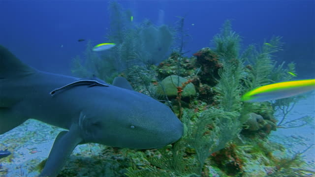 Suba Diving with nurse sharks in Caribbean Sea - Belize Barrier Reef / Ambergris Caye