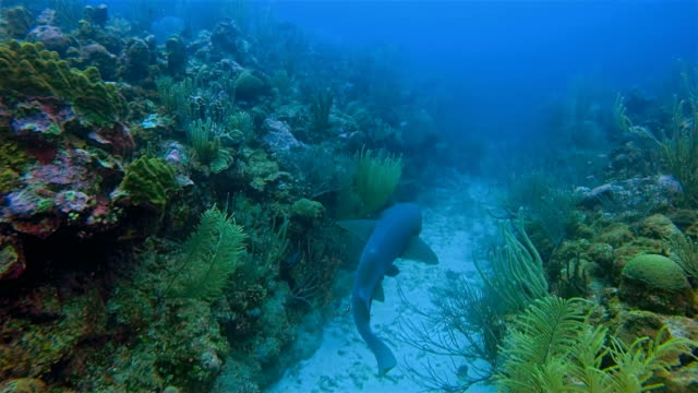 Suba Diving with nurse sharks on coral reef in Caribbean Sea - Belize Barrier Reef / Ambergris Caye