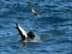 Subantarctic fur seal (Arctocephalus tropicalis) feeds on King penguin (Aptenodytes patagonicus), Marion Island, South Africa