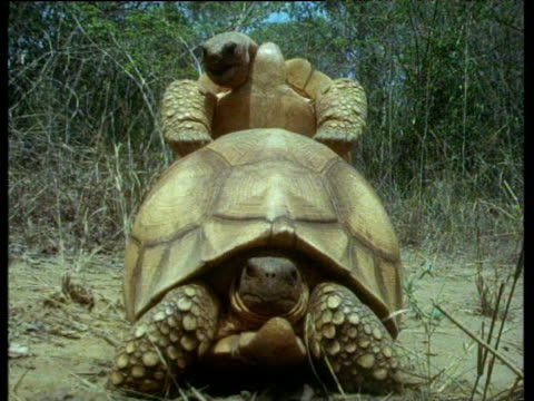 Successful male Ploughshare tortoise mates with female with vanquished unsuccessful mate in foreground.