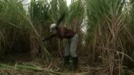 Sugar Cane Field