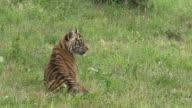 'Sumatran Tiger, panthera tigris sumatrae, Cub walking on Grass, Real Time'