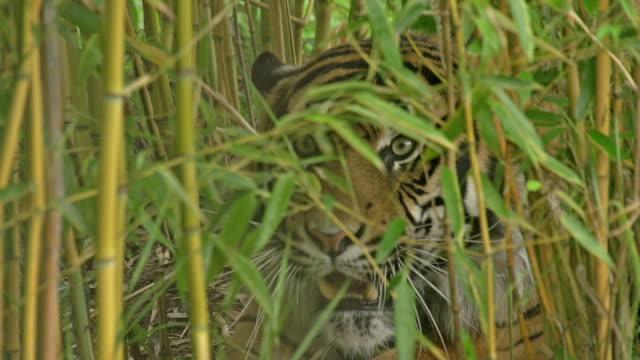 'Sumatran Tiger, panthera tigris sumatrae, Male camouflaged in Bamboos, Snarling, Real Time'