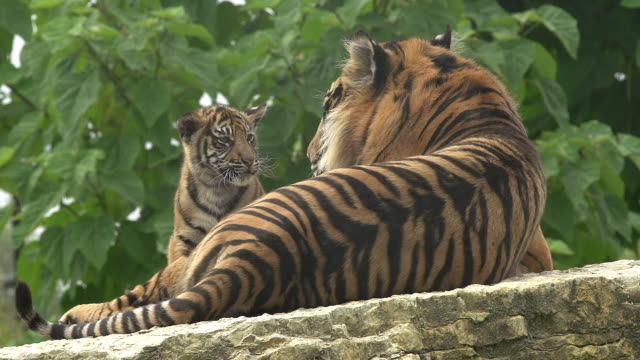 'Sumatran Tiger, panthera tigris sumatrae, Mother and Cub, Real Time'