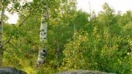 Summer aspen trees Aspens Steens Mountain Near Malhuer Wildlife Refuge 9