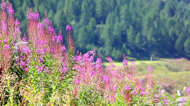 Summer flowers in Valle D'Aosta