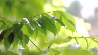 Summer rain on green leafs