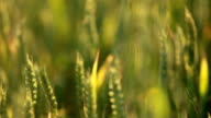 Summer Wheat Crops Field