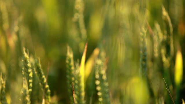 Sommer Weizen Feld Pflanzen